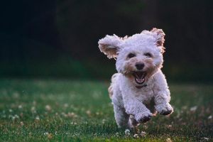 liten vit krullig hund