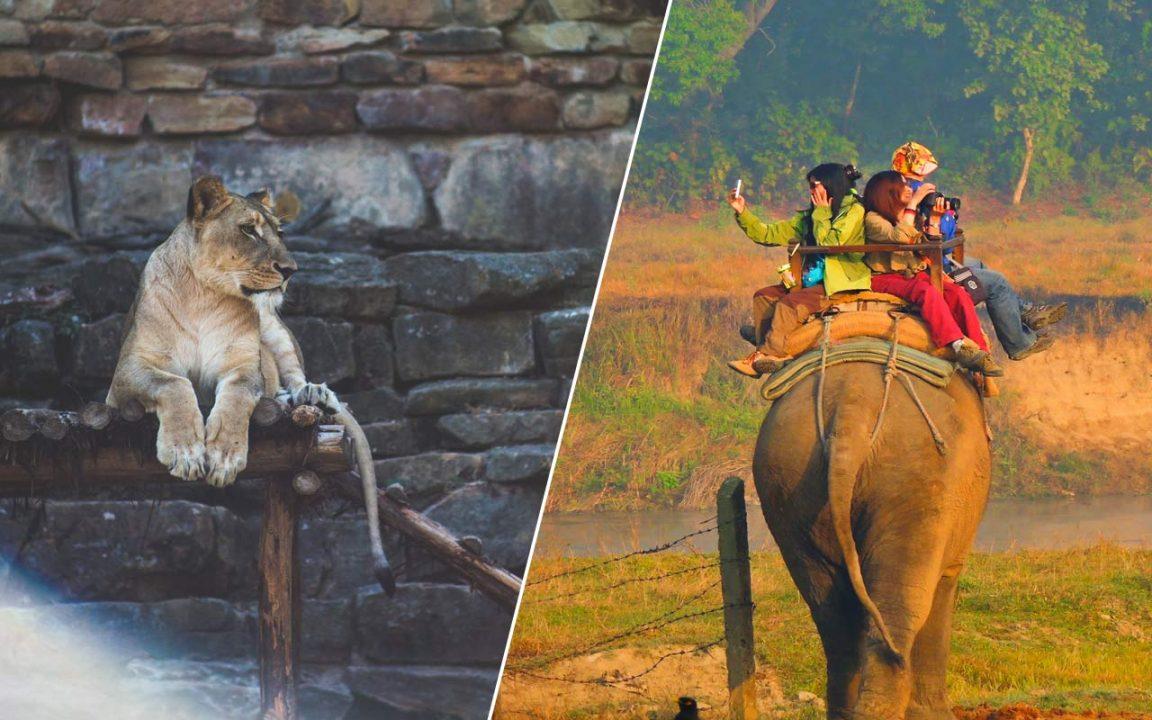 Varför kan zoon, elefantridning och cirkusar vara skadliga för djuren?