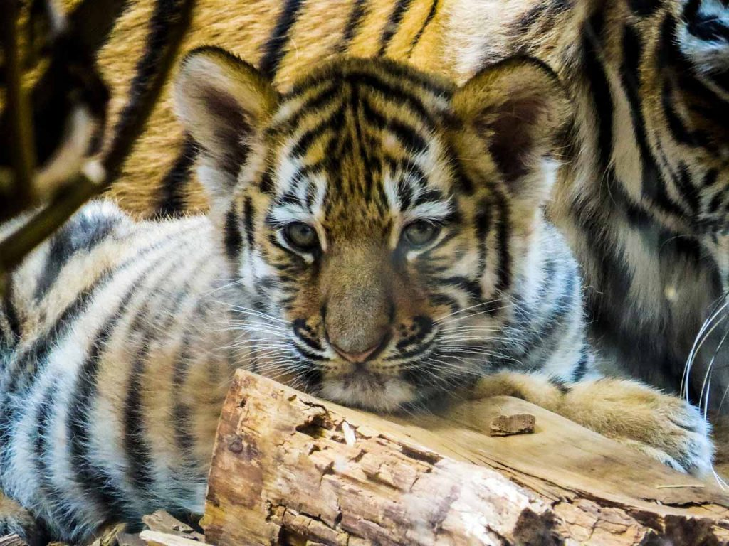 Varför ska man inte klappa tigrar