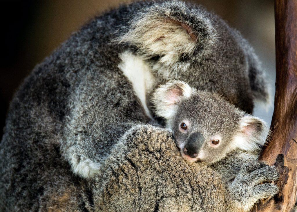 koala goda nyheter